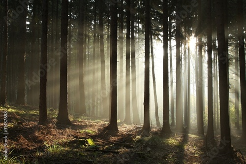 Foto auf Acrylglas Wald im Nebel Coniferous forest lit by the morning sun on a foggy autumn day