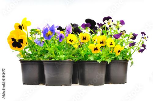 kolorowe wiosenne bratki w czarnych plastikowych doniczkach