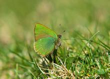 Green Hairstreak Butterfly (Callophrys Rubi)