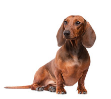 Dachshund Dog Isolated Over White Background