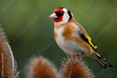 Fotomural Goldfinch on teasel
