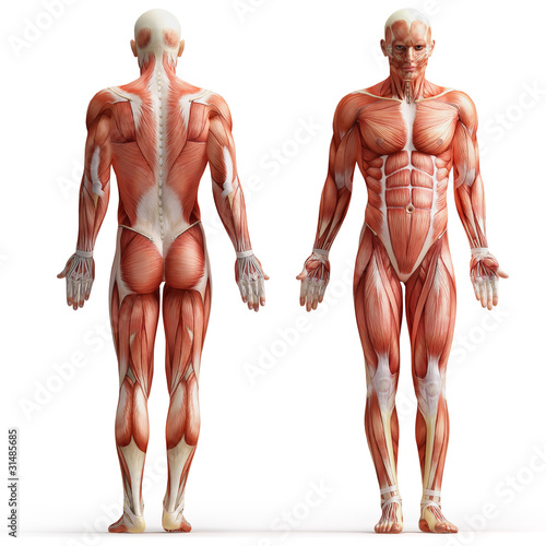 anatomy, muscles Wallpaper Mural