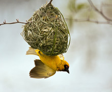 Weaver Building A Nest In A Tr...