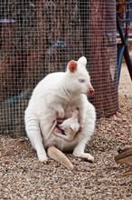White Albino Wallaby