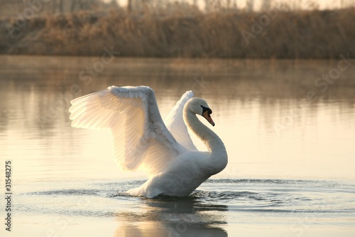 Papiers peints Cygne Swan spreads its wings at dawn