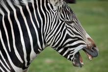 Grevy's Zebra Side Profile