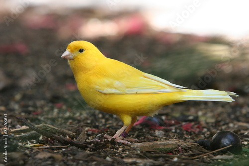 Fotografia  CANARY EXOTIC