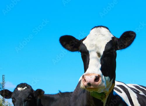 Keuken foto achterwand Koe Kopf einer Milchkuh