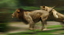 The Slow Motion Of The Running Lions In Forest