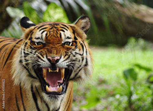 In de dag Tijger Close up of a roaring tiger
