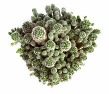 Ballshape Cactus Family.