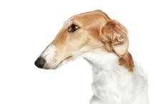 Russian Borzoi - Wolfhound Dog. Head Profile Close-up Portrait