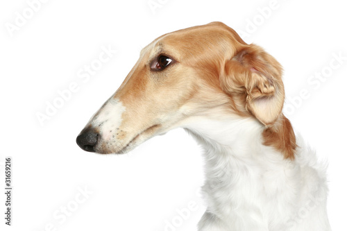 Valokuva Russian Borzoi - Wolfhound dog. Head profile close-up portrait