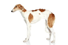 Russian Borzoi Puppy (5 Months). Side View