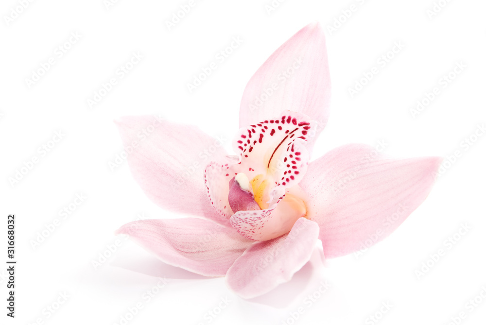 Fototapety, obrazy: rosy orchid isolated on white background
