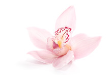 Rosy Orchid Isolated On White ...