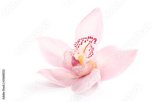 rosy orchid isolated on white background Canvas Print