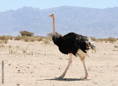 Stickers pour porte Autruche African ostrich
