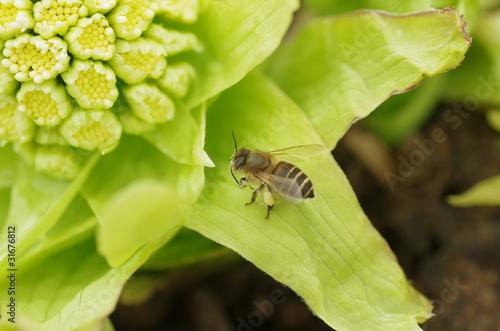 Obraz na plátně  ミツバチ