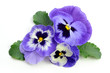 canvas print picture - Pansy