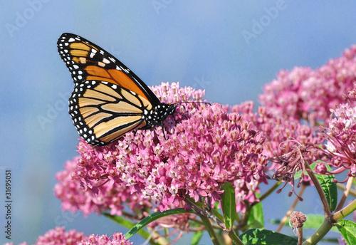 Photo  Monarch Butterfly on Swamp Milkweed Wildflower
