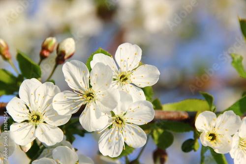 Zdjęcie XXL Jabłko kwitnie na biało