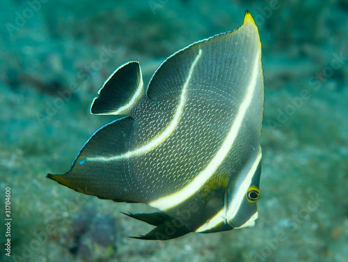 Photo Juvenile French Angelfish, picture taken in south east Florida..