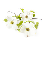 White Dogwood Flowers