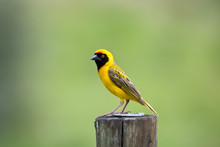 Southern Masked Weaver Sitting On A Pole In The Sun