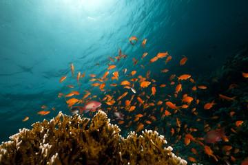 Fototapeta na wymiar coral reef and fish in the Red Sea.