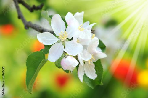 Obrazy kwiat jabłoni   wiosna-175