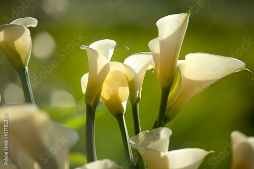 Fototapeta Calla Lily with black background