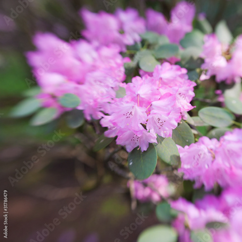 Tuinposter Azalea rhododendron with