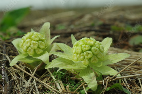 Fotografie, Obraz  butterbur flowers