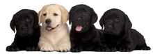 Four Labrador Puppies, 7 Weeks...
