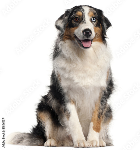 Australian Shepherd dog, 1 year old, - Buy this stock photo and