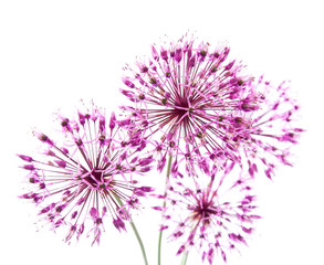 Panel Szklany Kwiaty allium