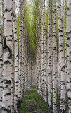 Birch trees - 31867204