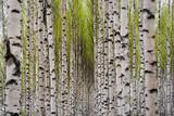 Birch trees - 31867232