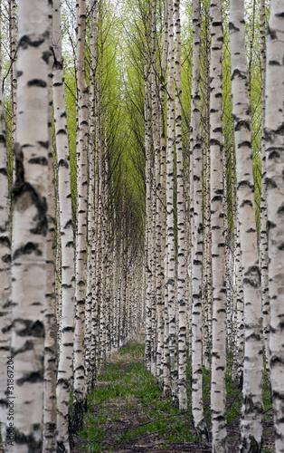 Deurstickers Berkbosje Birch trees