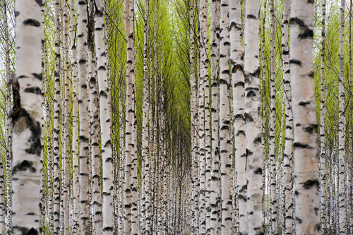 Stickers pour porte Bosquet de bouleaux Birch trees