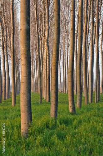 pioppeto alberi 1511 © peggy