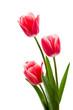 Rote Tulpen mit weißem Rand