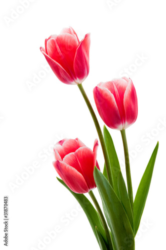 Deurstickers Tulp Rote Tulpen mit weißem Rand