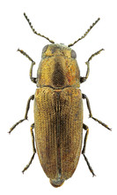 Sphenoptera Cauta