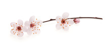 Branch Of Japanese Cherry With Blossom, Isolated On White