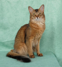 Usual Female Somali Cat