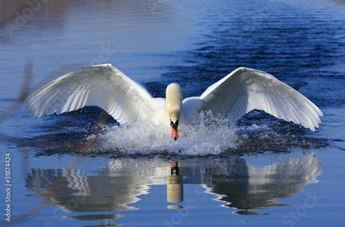 Cadres-photo bureau Cygne Swan attack