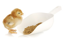 Chick Eating