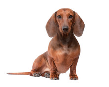 Dachshund Dog Isolated Over Wh...